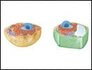 Eukaryotic Organelles